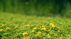 Green field with yellow flowers. Bee collects nectar on flower. Spring flowers Stock Footage