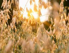 Close up of sunlit oat plants Stock Photos