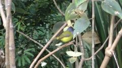 Grey-headed Canary-flycatcher Stock Footage