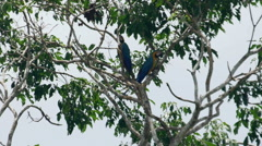 Blue-and-yellow macaw in the tree Stock Footage