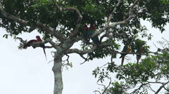 Scarlet Macaw on tree Stock Footage