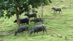 Water buffalo, Laos Stock Footage