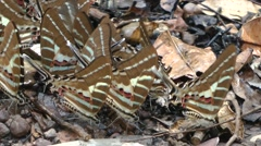 Swordtail butterflies, Cambodia Stock Footage