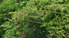 Red and green macaw Stock Footage