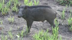 Wild pig, Cambodia Stock Footage