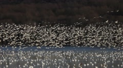 Greater Snow Geese Stock Footage