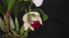 Orchid (Cattleya sp.) in flower Stock Footage
