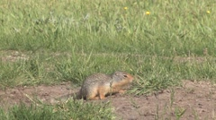 Richardson Ground Squirrel foraging and playing on grassy meadow Stock Footage
