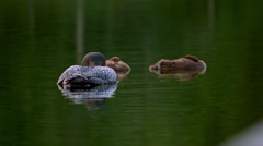 Loon mother and two babies in the Adirondacks Stock Footage