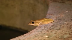Four-lined tree frog, Malaysia Stock Footage