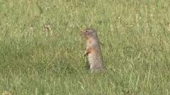 Richardson Ground Squirrel alerting to danger and running away. Stock Footage