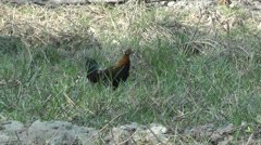 Red Junglefowl, Cambodia Stock Footage