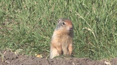 Tight shot of ground squirrel alerting to danger and foraging for food. - stock footage