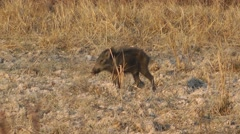 Baby wild boar, Cambodia Stock Footage