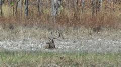 Eld's Deer stag, Cambodia Stock Footage