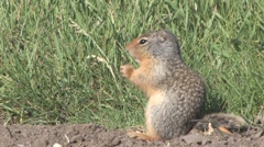 Tight shot of Richardson ground squirrel eating in grassy setting on sunny day Stock Footage