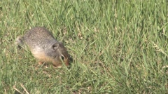Tight shot of Richardson Ground Squirrel foraging and playing on grassy meadow Stock Footage