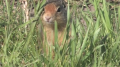 Tight shot of ground squirrel alerting and hiding in grass. Stock Footage