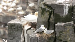Black-legged Kittiwakes preening Stock Footage