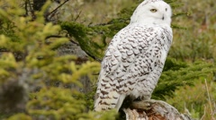 Snowy Owl looking around Stock Footage