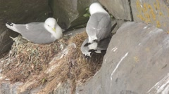 Black-legged Kittiwakes mating Stock Footage