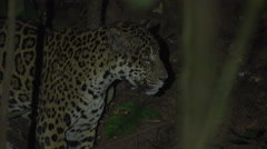 Wild jaguar in the Peruvian rainforest, Tambopata National Reserve Stock Footage