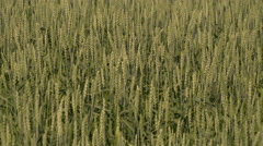 The big wheat field on the a fine day Stock Footage