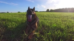 Dog running with stick in mouth.Smooth steady camera footage. Stock Footage