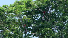 Red and green macaw on tree Stock Footage