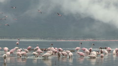 Huge flock of Lesser Flamingo with hot water geyser, Lake Bogoria Kenya Stock Footage