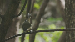 Bellbird Korimako bird on Tiritirimatangi island, auckland, new zealand Stock Footage