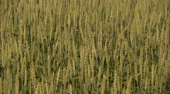 Lots of wheat grasses waving on the air Stock Footage