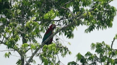 Red and green, scarlet macaw sitting on tree Stock Footage