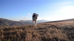 White dog that comes from an alpine pasture situated above the high peaks of Stock Footage