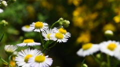 Wild meadow chamomile flowers in wind over green Stock Footage