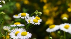Wild meadow chamomile flowers in wind over green - stock footage