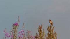 Bird Whinchat sitting on a branch among the flowers of Fireweed - stock footage