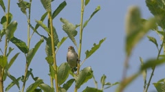 Booted warbler  (Hippolais caligata) Stock Footage