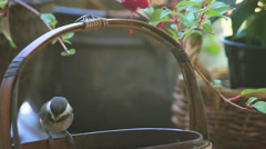 Chickadees bicker at basket feeder Stock Footage