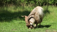 Big horned goat grazing Stock Footage