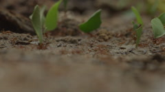 Leafcutters in the Peruvian rainforest, close-up Stock Footage