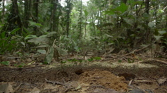 Leafcutter on ground in the Peruvian rainforest Stock Footage