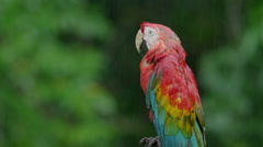 Scarlet macaw close-up Stock Footage