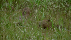 Capybara eating in the Peruvian rainforest Stock Footage