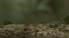 Leafcutterson ground in the rainforest Stock Footage