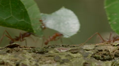 Leafcutter on ground in the Peruvian rainforest, close-up Stock Footage