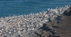 Gannet bird colony nesting in Murawai Beach, Auckland, New Zealand - stock footage