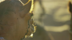 Dromedary Camels resting on safari in desert sands Middle East Stock Footage