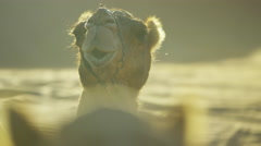 Dromedary Camels and Bedouins resting on safari in desert sands Stock Footage