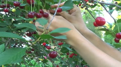 Cherry tree picking ripe cherries in the orchard in close-up, video clip Stock Footage